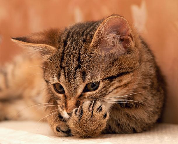 macska egysejtű parazita)
