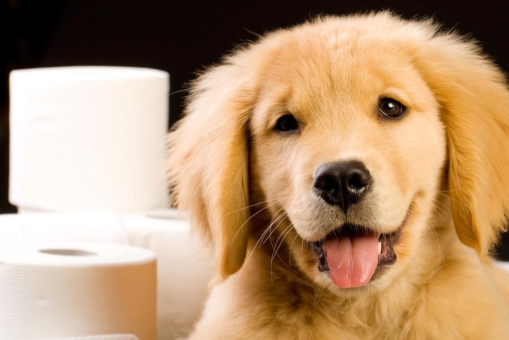 Kutya hasmenés sárga